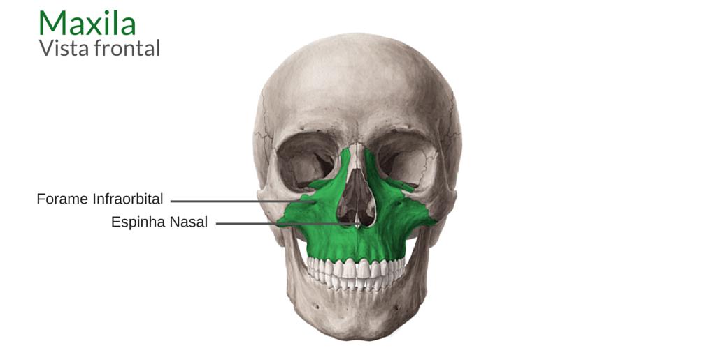 Anatomia Da Maxila Odontoup